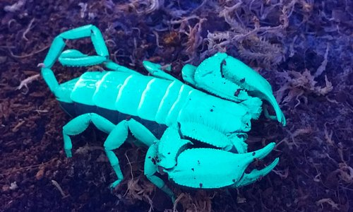 Come and see our glow-in-the-dark scorpion in the Tropical Bug Zoo!