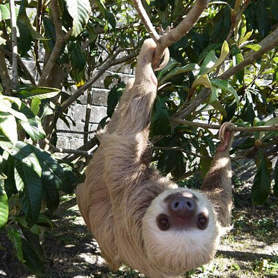 one of the rescued sloths