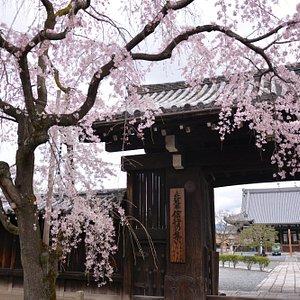 妙覚寺 門前桜