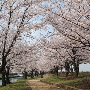 桜並木 ①
