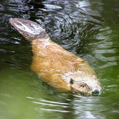 European beaver copyright Dave Walsh