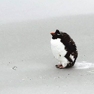 A lone rockhopper penguin at the beach.