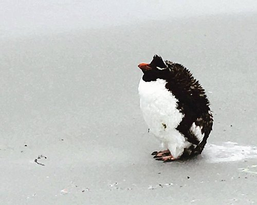 A lone rockhopper penguin at the beach.