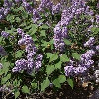 Albuquerque Rose Garden Tony Hillerman Library Lilacs April