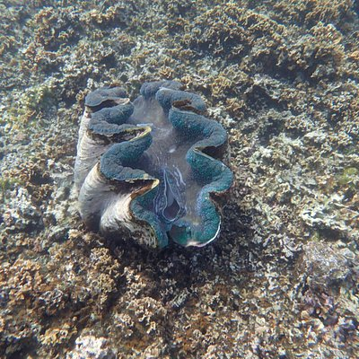 Another giant clam