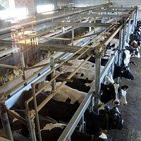 搾乳中の乳牛
