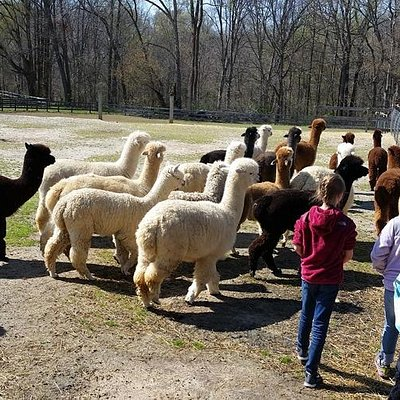 Grandkids headed out to meet the alpacas