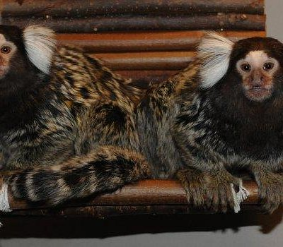 Common marmoset brothers Harald and Thomas, always ready to welcoming new visitors!