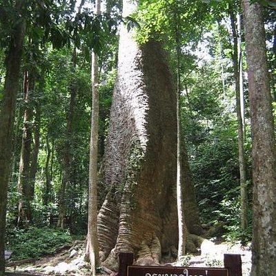 ต้นกระบากใหญ่ วัดโดยรอบได้ 16 เมตร สูง 50 เมตร