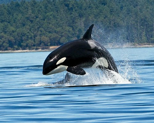 Hunting Orca