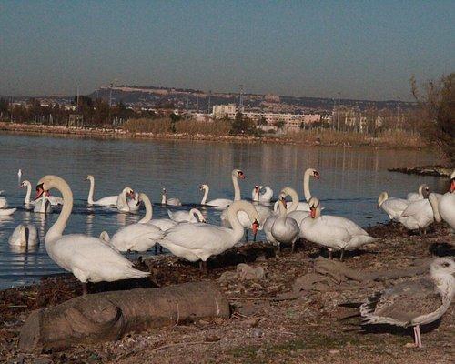 Cygnes sur l'étang de Bolmon