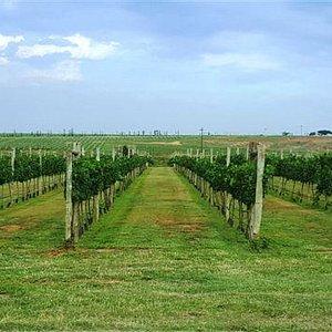 Vineyards on the estate