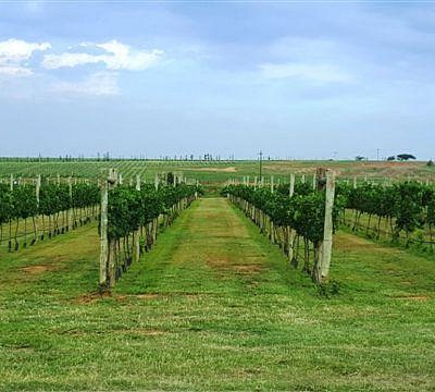 Vineyards on the estate
