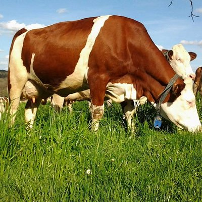 vache montbeliarde de la ferme de la brunie