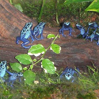 Dart Frogs at HMA