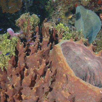 Giant barrel sponges are abondant on the Roatan reef