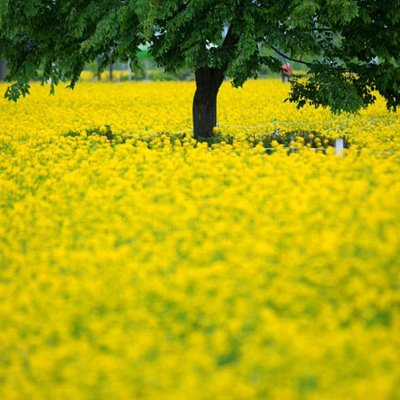 May Korea Rape Flowers 韓國五月油菜花
