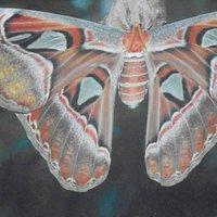 aziatische atlasvlinder in klein costa rica