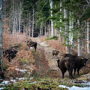 European Bisons in Wilderness in the Neamt Forests