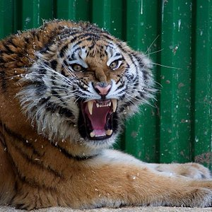 Эта Тигрица уже уехала из зоопарка,а жалко =(