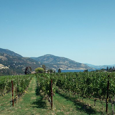 Our vineyard in the Summer