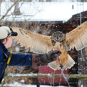Our beautiful Eurasian Eagle Owl 'Boo'