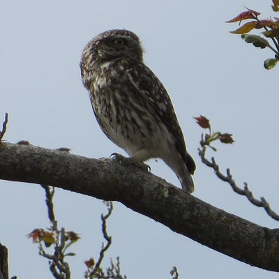 Little Owl - taken with my tiny tourist camera