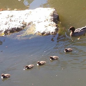 Cute duck family at Nerima Gardens