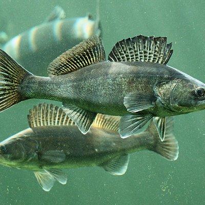 Pike-perch