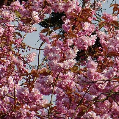 beatrixpark;prunus kanzan;mei 2016