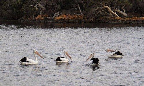 Pelicans in the Wilson Inlet