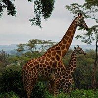Giraffes in the center.