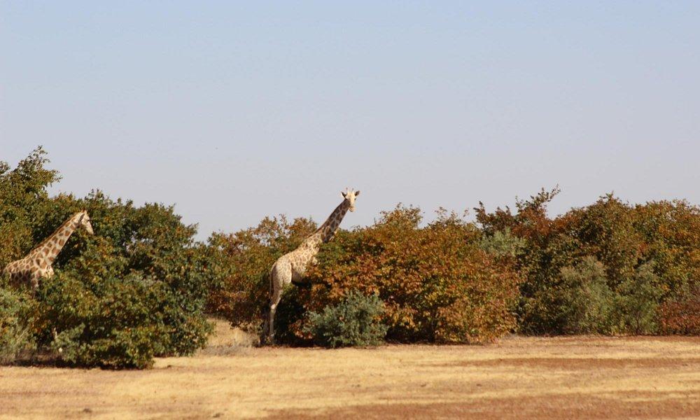 Giraffes at Koure reserve