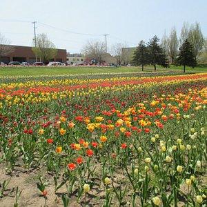 More tulip rows.
