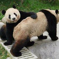 Giant Panda at Dujiangyan Panda Base