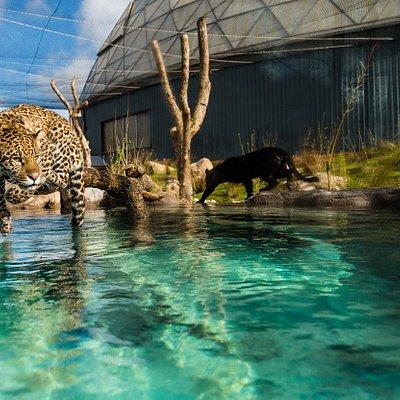 jaguar pool
