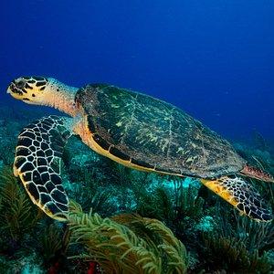 En el Caribe mexicano podemos ver hasta 4 especies de tortugas marinas, como esta tortuga de car