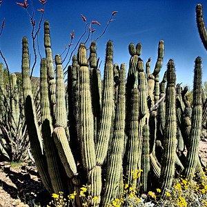 A bunch of cactus.
