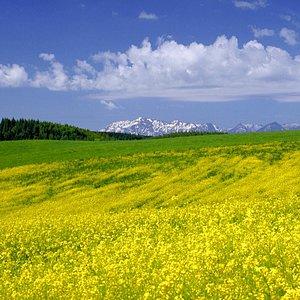 Rape-seed flower field