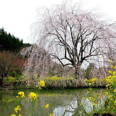 10mを超える立派な桜です。