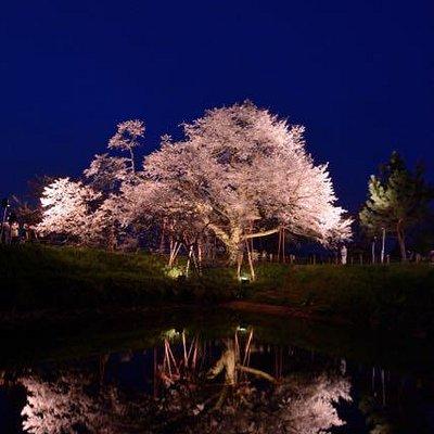 ライトアップされた桜はみごとです。