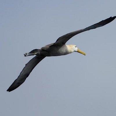 Wave albatross - Española