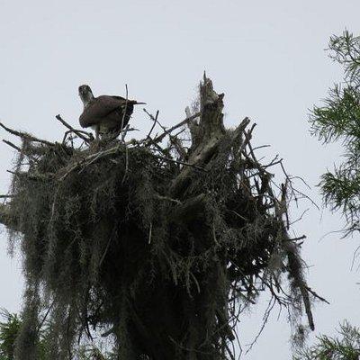 Osprey nest with babies