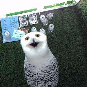 Koyuki, the very cute and surprised snow owl!