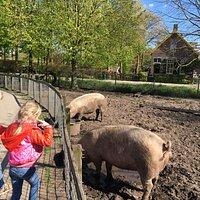 zo dicht bij varkens.....