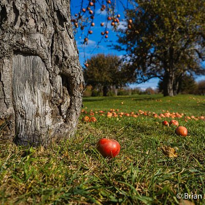Apple trees from the original orchard still exist along parts of the course.