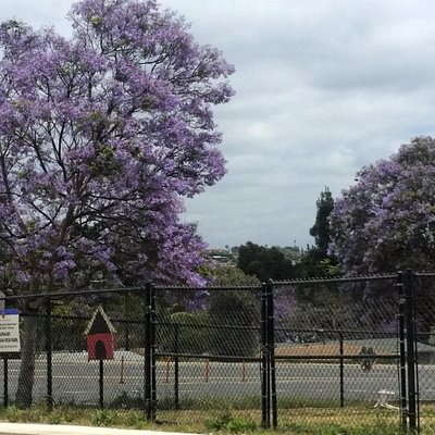 It's late May, and the Jacaranda are in bloom