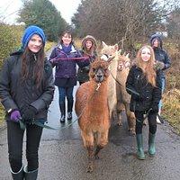Alpaca Experience walk