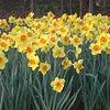 Daffodil7404