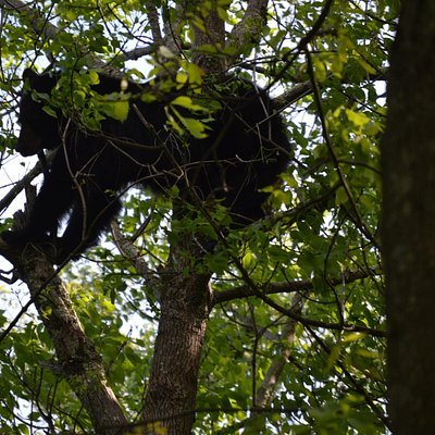 Bear in tree, right off the trail